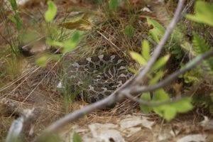 Sleeping Massassauga Rattle Snake