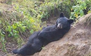 Bears in the Massassauga Park